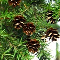 Western hemlock (Tsuga heterophylla).- 25 of the West's Most Iconic Trees