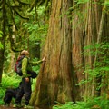 Western redcedar (Thuja plicata).- 25 of the West's Most Iconic Trees