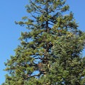Noble fir (Abies procera).- 25 of the West's Most Iconic Trees