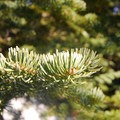 White fir (Abies concolor).- 25 of the West's Most Iconic Trees