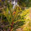 California incense cedar (Calocedrus decurrens).- 25 of the West's Most Iconic Trees