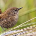 Pacific wren. Photo courtesy of Lloyd Spitalnik.- Winter is for the Birds