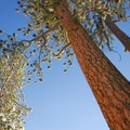 Ponderosa pine (Pinus ponderosa).- 25 of the West's Most Iconic Trees