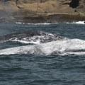 A gray whale (Eschrichtius robustus) outside of Depoe Bay, Oregon.- Gray Whales: Close Encounters