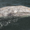 A gray whale (Eschrichtius robustus) eyeing the camera outside of Depoe Bay, Oregon.- Gray Whales: Close Encounters