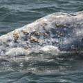 Barnacles on a gray whale (Eschrichtius robustus) outside of Depoe Bay, Oregon.- Gray Whales: Close Encounters