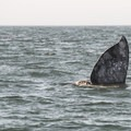 A sharking gray whale (Eschrichtius robustus) outside of Depoe Bay, Oregon.- Gray Whales: Close Encounters