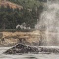 A gray whale (Eschrichtius robustus) spouts outside of Depoe Bay, Oregon.- Gray Whales: Close Encounters