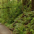 Wild Cherry Trail above Forest Park's famed Wildwood Trail.- Wild Cherry Trail Loop