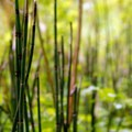 Scouring rush (Equisetum hyemale).- Tryon Creek State Park, Cedar Trail Hike