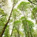Forest grove of big leaf maples (Acer macrophyllum).- Tryon Creek State Park, Cedar Trail Hike