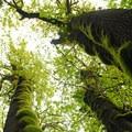 Big leaf maple (Acer macrophyllum).- Tryon Creek State Park, Cedar Trail Hike