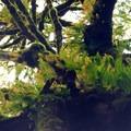 Ferns adorn a big leaf maple (Acer macrophyllum).- Tryon Creek State Park, Cedar Trail Hike