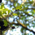 """""""Oak apple,"""" which is actually a larvae nest for non-stinging gall wasps.- Tualatin Hills Nature Park Loop Trail"""
