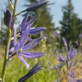 Field of common camas (Camassia quamash).- Lacamas Creek Loop Trail