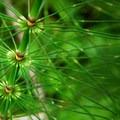 Giant horsetail (Equisetum telmatiea).- Oxbow Nature Trail
