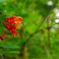 Orange honeysuckle (Lonicera ciliosa).- Oxbow Nature Trail