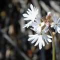 Slender woodland star (Lithophragma tenellum).- Tom McCall Point Hike