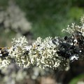 Branch with numerous lichens, including forking bone, pincushion orange and ragbag.- Tom McCall Point Hike