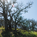 "Groves of Oregon ""shrub"" oak.- Tom McCall Point Hike"