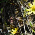 Gold stars (Crocidium multicaule).- Tom McCall Point Hike