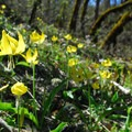 Yellow glacier lily (Erythronium grandiflorum).- Tom McCall Point Hike