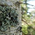 Native lichen hooded bone (hypogymnia physodes).- Table Mountain