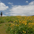 Puget balsamroot (Balsamorhiza deltoidea) and numerous lupines dominate the upper hillside.- Coyote Wall Hiking Trail