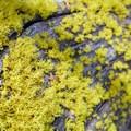 Unidentified lichen (help us identify it by providing feedback).- Coyote Wall Hiking Trail