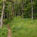 """Upper portions of the trail are dominated by Oregon """"shrub"""" oak (Quercus garryana).- Coyote Wall Hiking Trail"""
