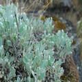Dagger-pod (Phoenicaulis cheiranthoides).- Coyote Wall Hiking Trail