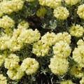 Parsley desert buckwheat (Eriogonum heracleoides).- Coyote Wall Hiking Trail