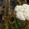 Common yarrow (Achillea millefolium).- Coyote Wall Hiking Trail