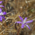 Harvest Brodiaea (Brodiaea coronaria)- Catherine Creek Hiking Trail