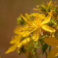 Common St. John's Wort (Hypericum perforatum)- Catherine Creek Hiking Trail