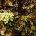 Coastal reindeer lichen (Cladina portentosa).- Saddle Mountain