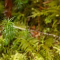 Common haircap moss (Plytrichum commune).- Saddle Mountain