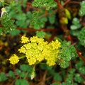 Martindale's desert parsley (Lomatium martindalei).- Saddle Mountain