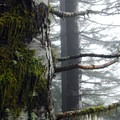 Grand fir (Abies grandis).- Saddle Mountain