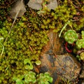 Oregon stonecrop (Sedum oreganum).- Saddle Mountain