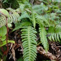 Deer fern (Blechnum spicant).- Cape Lookout Hiking Trail