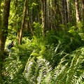 Forest dominated by red alder (Alnus rubra), second-growth Douglas fir (Pseudotsuga menzies) and western sword fern (Polystichum munitum).- Kings Mountain