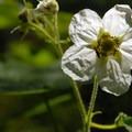 Thimbleberry (Rubus parviflorus).- Kings Mountain