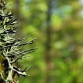 Unidentified lichen species (help us identify it by providing feedback).- Kings Mountain