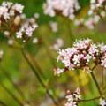 Narrow-leaved milkweed (Asclepias fascicularis).- Kings Mountain