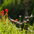 Meadow of the flora at the Kings Mountain summit, including species of paintbrush and milkweed.- Kings Mountain