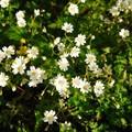 Long-stalked starwort (Stellaria longipes).- Kings Mountain