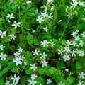Candy flower (Claytonia sibirica).- Neahkahnie Mountain Hike