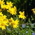 Oregon sunshine (Eriophyllum lanatum).- Neahkahnie Mountain Hike
