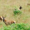 Cascade Head's resident heard of Roosevelt elk (Cervus canadensis).- Cascade Head